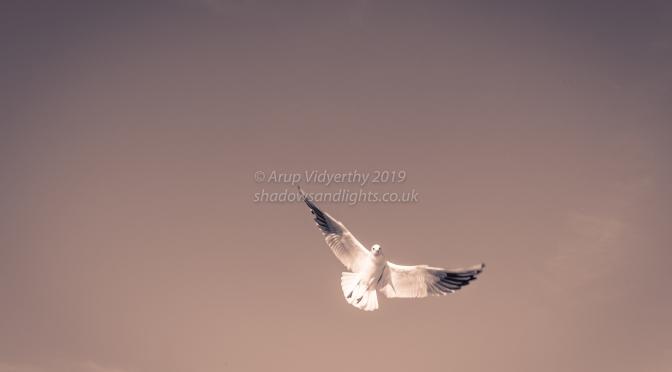 Gulls of Marsh Lock